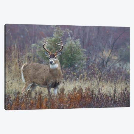 White-tail deer buck Canvas Print #CHE145} by Ken Archer Canvas Artwork