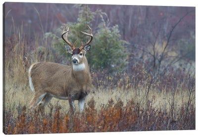 White-tail deer buck Canvas Art Print