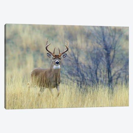 White-tail deer buck Canvas Print #CHE146} by Ken Archer Canvas Art