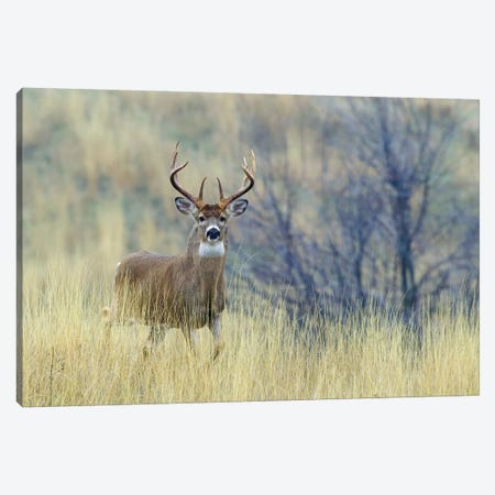 White-tail deer buck Canvas Print #CHE146} by Ken Archer Canvas Art