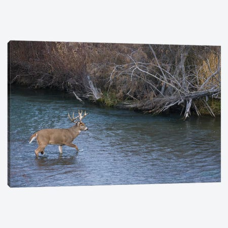 White-tail deer buck crossing river Canvas Print #CHE147} by Ken Archer Canvas Wall Art