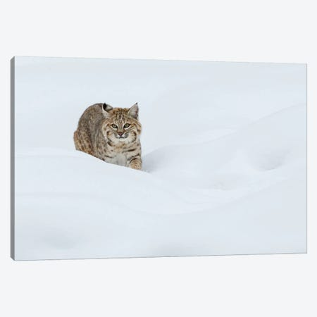 Bobcat, Stalking in deep snow Canvas Print #CHE14} by Ken Archer Art Print
