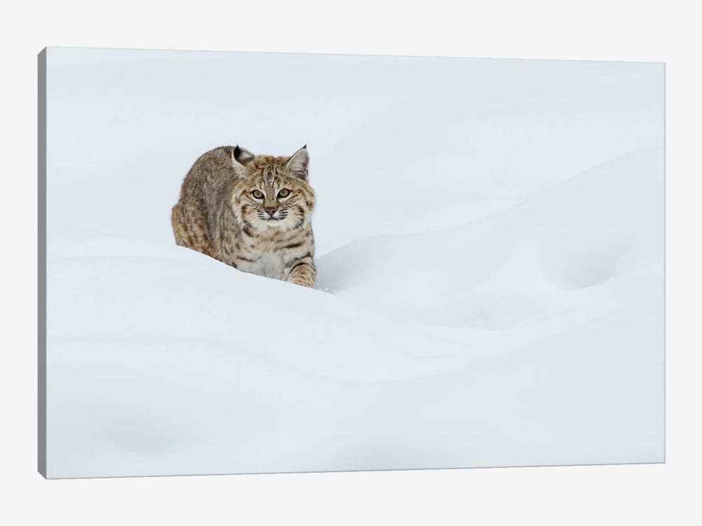 Bobcat, Stalking in deep snow by Ken Archer 1-piece Art Print