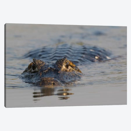Yacare Caiman Canvas Print #CHE152} by Ken Archer Canvas Wall Art