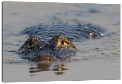 Yacare Caiman Canvas Art Print