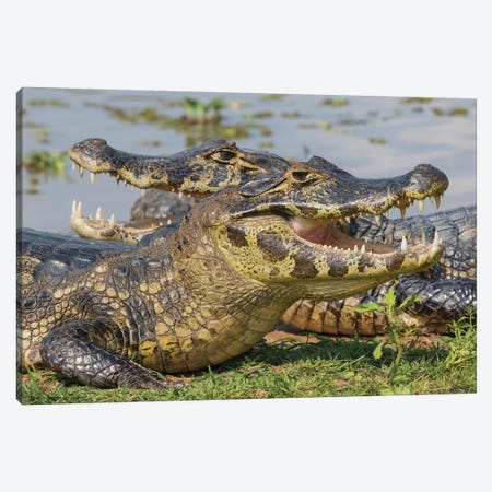 Yacare Caiman basking Canvas Print #CHE153} by Ken Archer Canvas Artwork