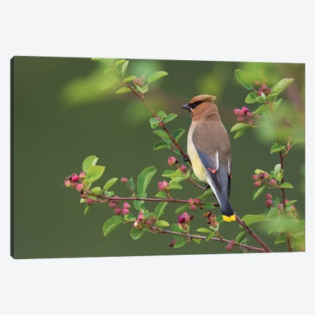 Cedar Waxwing Canvas Print #CHE15} by Ken Archer Art Print