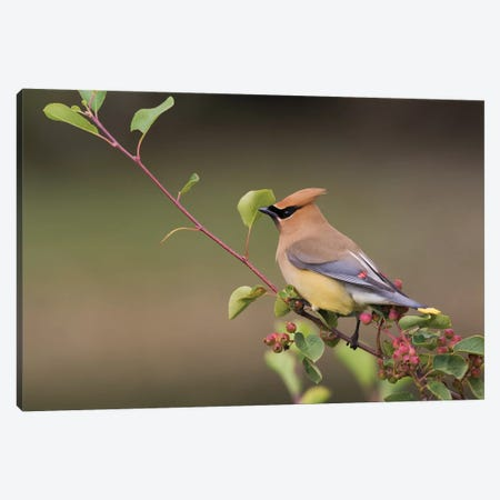 Cedar Waxwing on a blueberry bush Canvas Print #CHE16} by Ken Archer Canvas Art Print