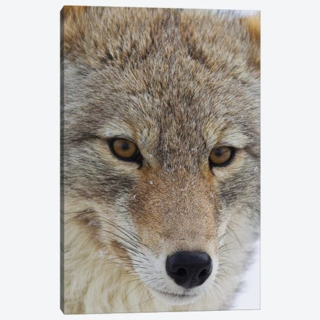 Coyote close-up Canvas Print #CHE17} by Ken Archer Canvas Art Print