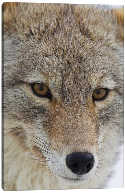 Coyote close-up Canvas Art Print