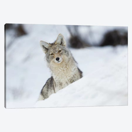 Coyote in winter Canvas Print #CHE18} by Ken Archer Canvas Wall Art