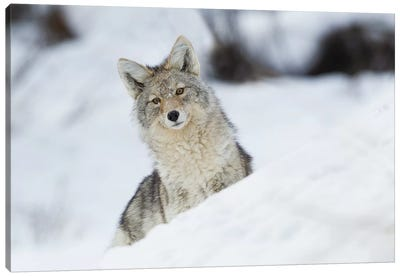 Coyote in winter Canvas Art Print