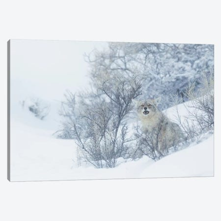 Coyote, winter hiding spot Canvas Print #CHE19} by Ken Archer Canvas Art