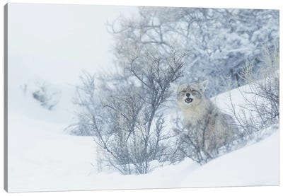 Coyote, winter hiding spot Canvas Art Print