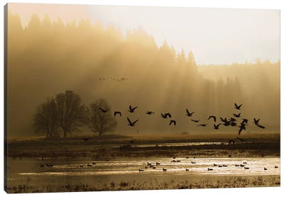 Lesser Canada Geese flying at dawn Canvas Art Print