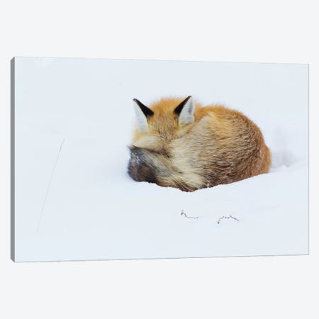 Red Fox sleeping curled up in the snow, Grand teton National Park, Wyoming. Canvas Print #CHE23} by Ken Archer Canvas Print