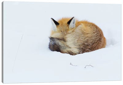 Red Fox sleeping curled up in the snow, Grand teton National Park, Wyoming. Canvas Art Print
