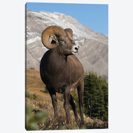 Rocky Mountain Bighorn sheep ram Canvas Print #CHE24} by Ken Archer Canvas Artwork