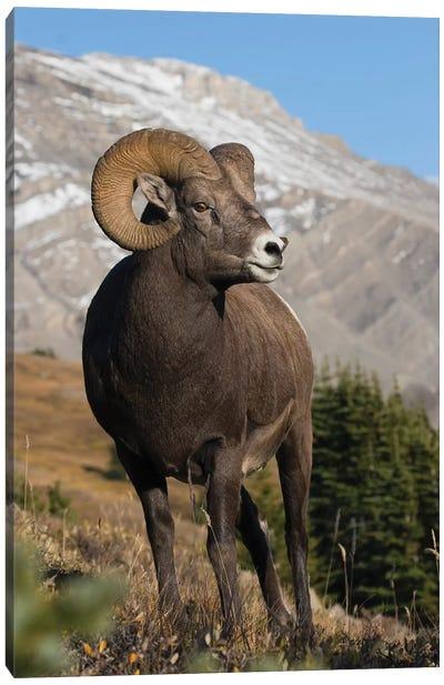 Rocky Mountain Bighorn sheep ram Canvas Art Print