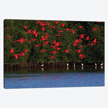 Scarlet Ibis flock Canvas Print #CHE26} by Ken Archer Canvas Wall Art