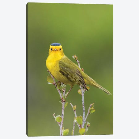 Wilson's Warbler Canvas Print #CHE29} by Ken Archer Art Print