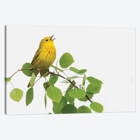 Yellow Warbler singing Canvas Print #CHE30} by Ken Archer Canvas Wall Art