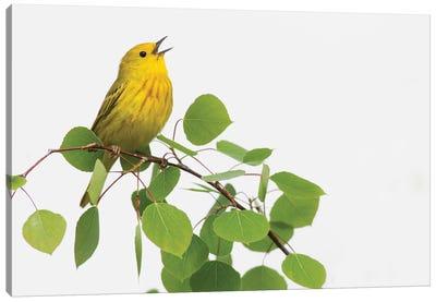 Yellow Warbler singing Canvas Art Print