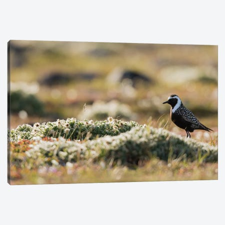 American golden plover silhouette on the Arctic tundra Canvas Print #CHE32} by Ken Archer Canvas Art