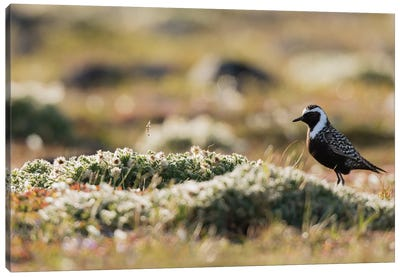 American golden plover silhouette on the Arctic tundra Canvas Art Print