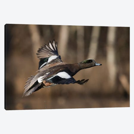 American wigeon drake Canvas Print #CHE33} by Ken Archer Canvas Artwork