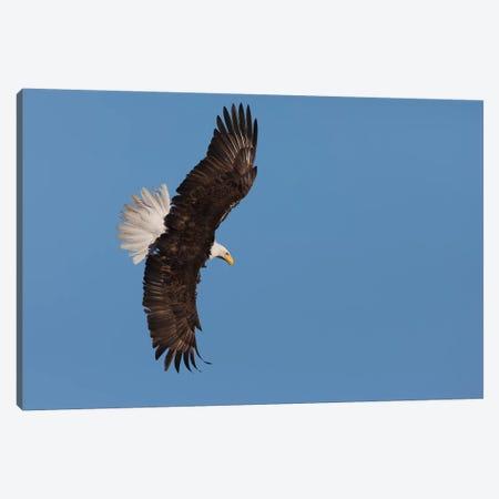 Bald eagle flying Canvas Print #CHE38} by Ken Archer Canvas Artwork