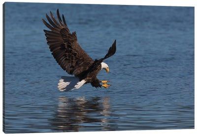 Bald Eagle going after prey Canvas Art Print