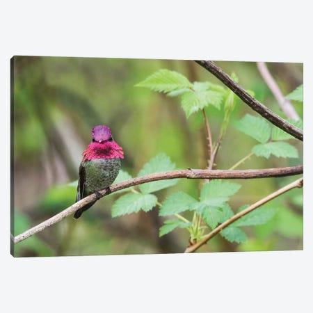 A male Anna's Hummingbird Canvas Print #CHE3} by Ken Archer Canvas Art