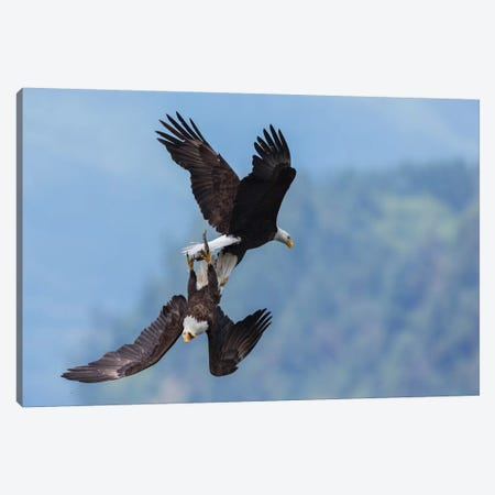 Bald eagle in flight battle for a meal Canvas Print #CHE40} by Ken Archer Canvas Art Print