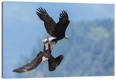 Bald eagle in flight battle for a meal Canvas Art Print