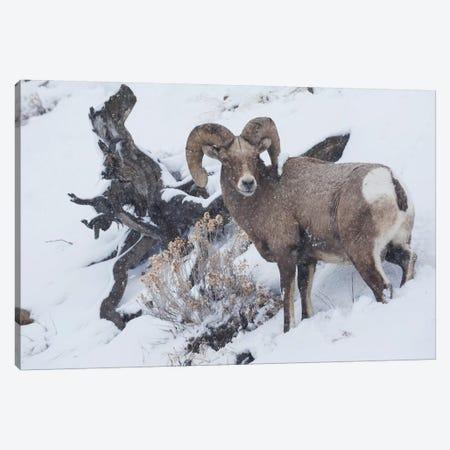 Bighorn sheep ram, winter storm 3-Piece Canvas #CHE43} by Ken Archer Art Print
