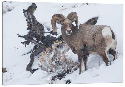 Bighorn sheep ram, winter storm Canvas Art Print