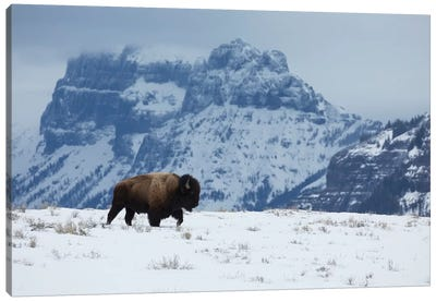 Bison bull on the move Canvas Art Print