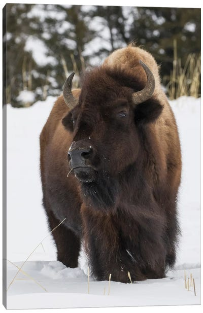 Bison bull, intently watching another bull approaching Canvas Art Print