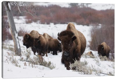 Bison herd on the move Canvas Art Print