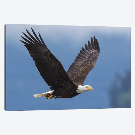 Bald Eagle I Canvas Print #CHE4} by Ken Archer Art Print