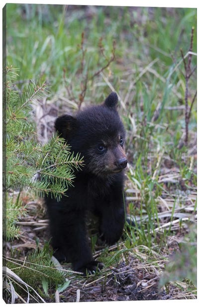 Black bear cub exploring Canvas Art Print