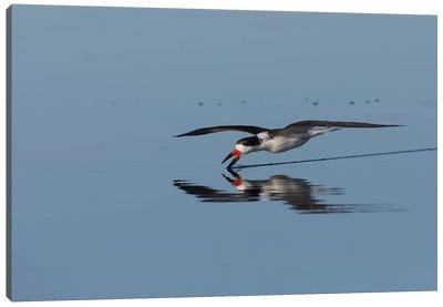 Black skimmer skimming for a meal Canvas Art Print