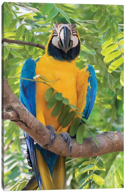Blue and Gold Macaw Canvas Art Print
