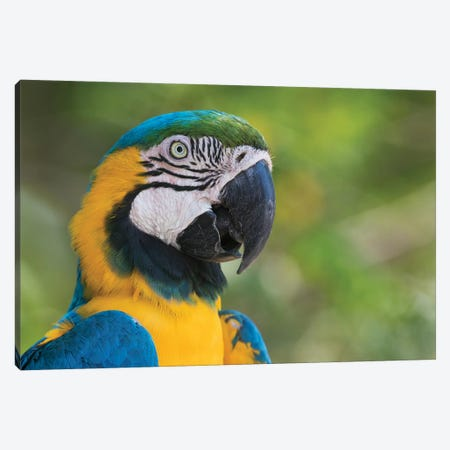 Blue and gold macaw close-up Canvas Print #CHE54} by Ken Archer Canvas Print
