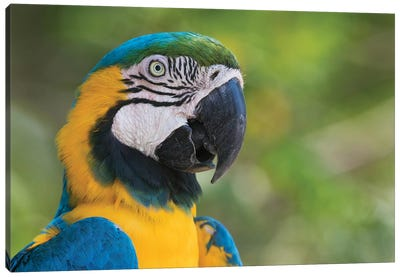 Blue and gold macaw close-up Canvas Art Print