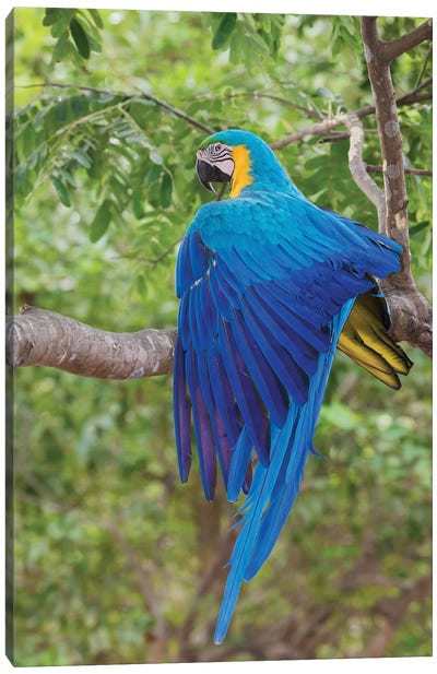 Blue and Gold Macaw stretching wing Canvas Art Print