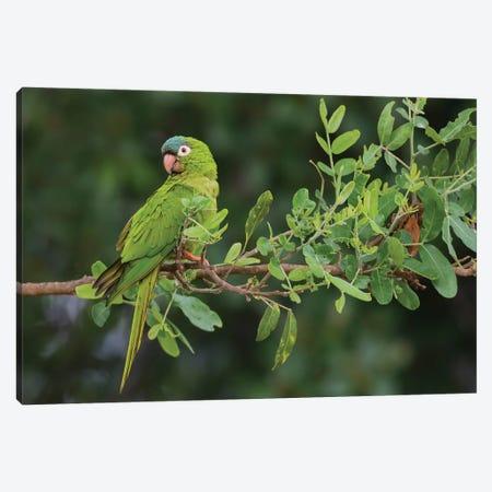 Blue-crowned parakeet Canvas Print #CHE56} by Ken Archer Canvas Print