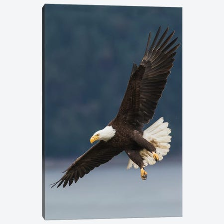 Bald Eagle II Canvas Print #CHE5} by Ken Archer Canvas Print