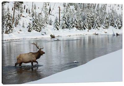 Bull elk crossing river Canvas Art Print